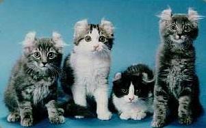 котята американского керла (1)