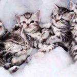 котята американской короткошёрстой