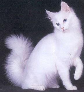 01 ангорская кошка