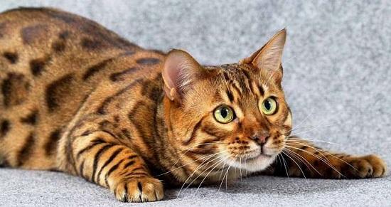 бенгальский кот морда
