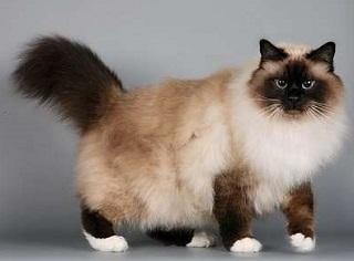 бирманская кошка главная