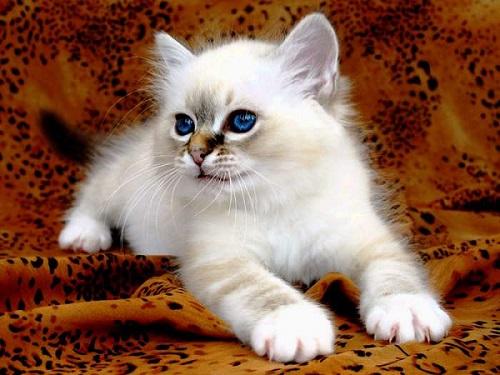 котёнок бирманской кошки