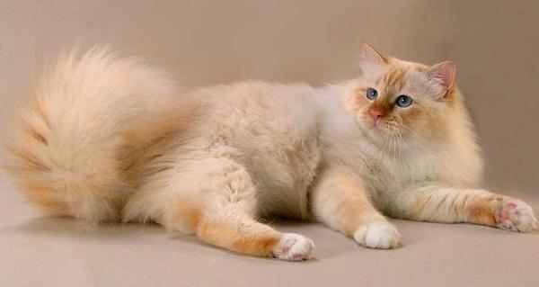 красная бирманская кошка