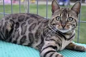 оснавная бенгальская кошка