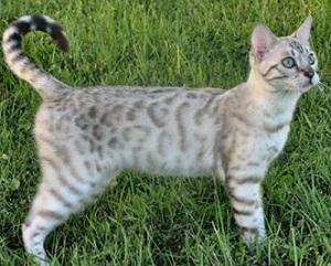 серый бенгальский кот