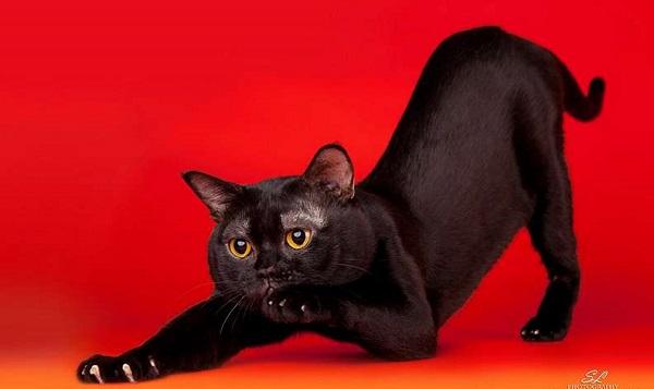 бомбейская кошка на красном