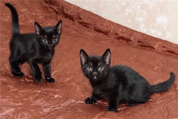 котята бомбейской кошки
