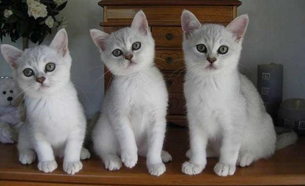 котята бурмиллы