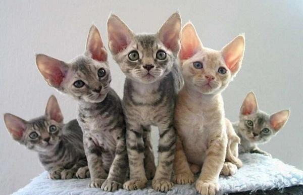 котята породы девон-рекс