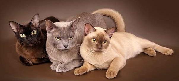 3 бурманских кошки.
