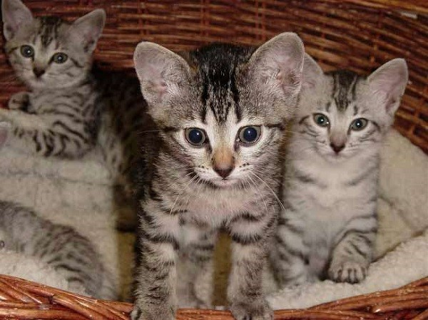 котята-арабского-мау