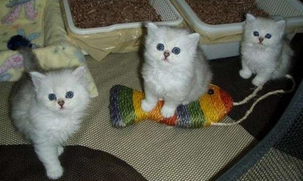 котята-бурмиллы-длинношёрстой
