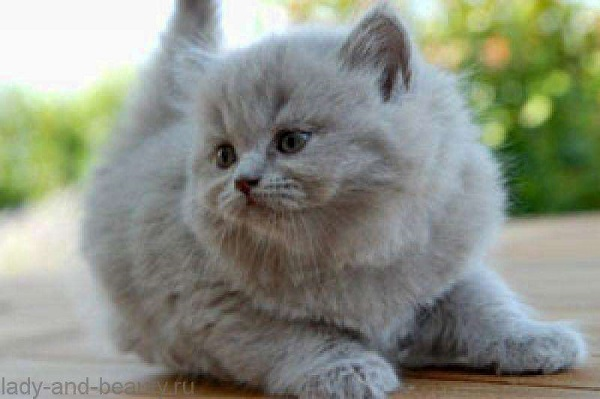 котёнок-брит-длинош