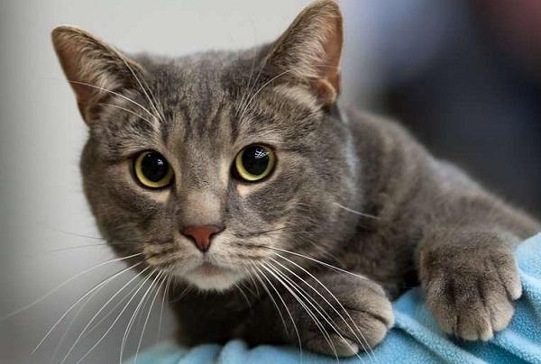 морда-бразильской-кошки
