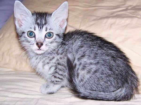 котёнок-египетской-мау