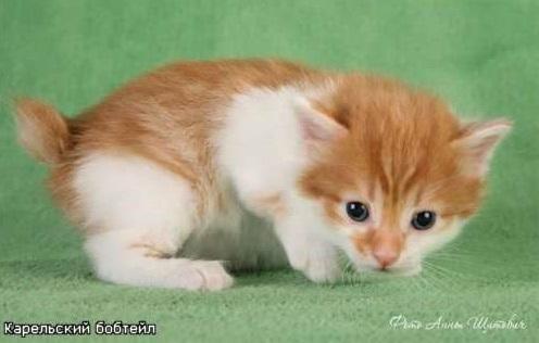 котёнок-карельского-бобтейла