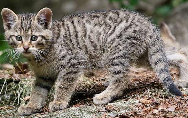 котёнок дикого кота