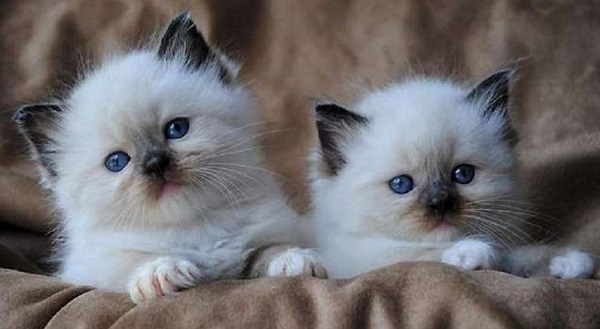 рэгдолл-котята