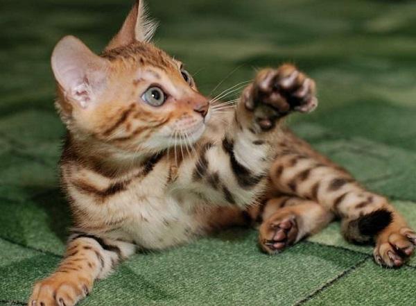 каннани котёнок