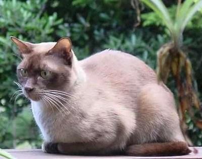 малайская кошка