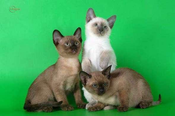 котята тонкийской кошки