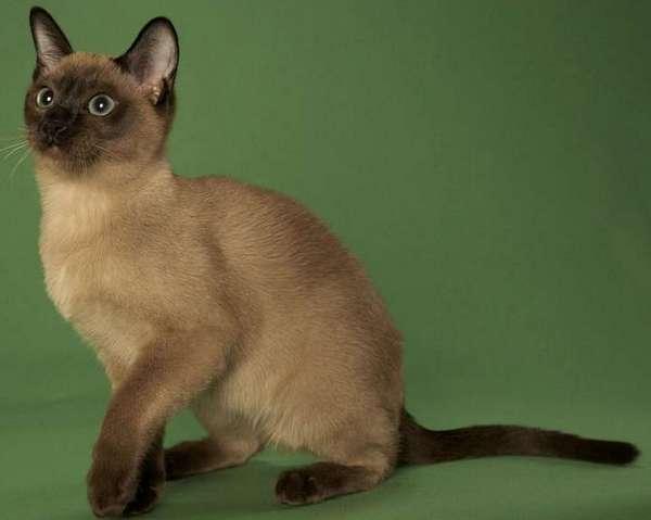тонкийская кошка на зелёном