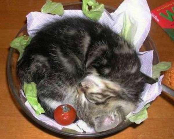 кот в тарелке