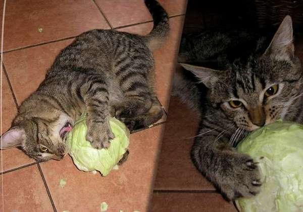 кот грызёт капусту