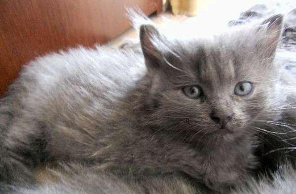 котёнок нибелунг