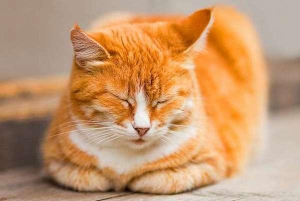 кот в позе сфинкса спит