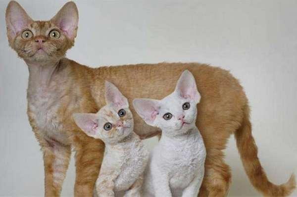 орегон рекс с котятами