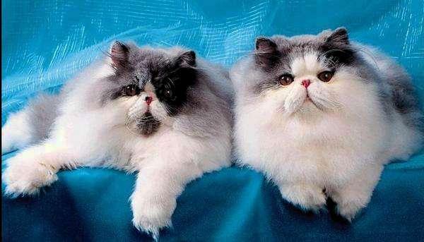 два перса