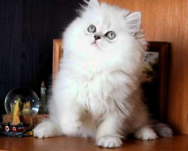 котёнок персидской кошки