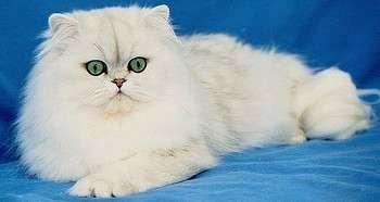 персидская кошка главная