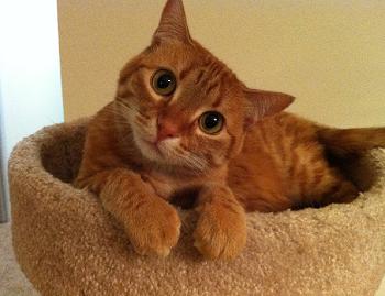 рыжий задумчивый котик