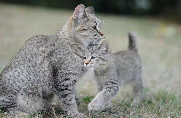 пикси боб с котёнком