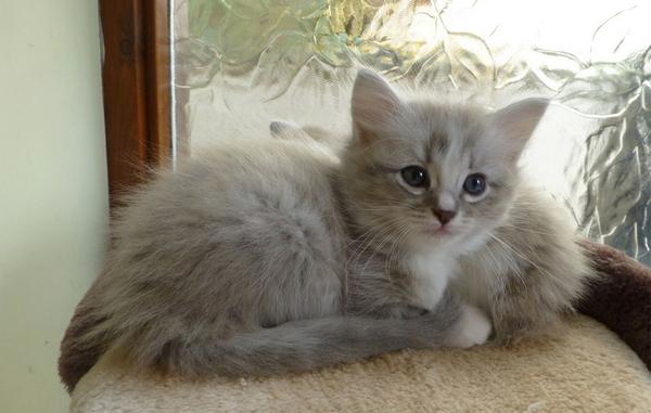Рагамаффин котёнок