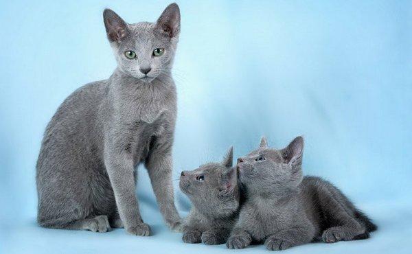 русская голубая с котятами