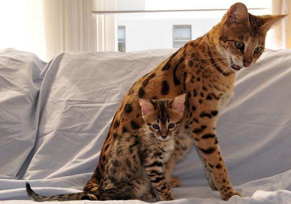 саванна с котёнком
