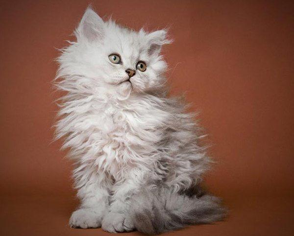 Селкирк рекс котёнок