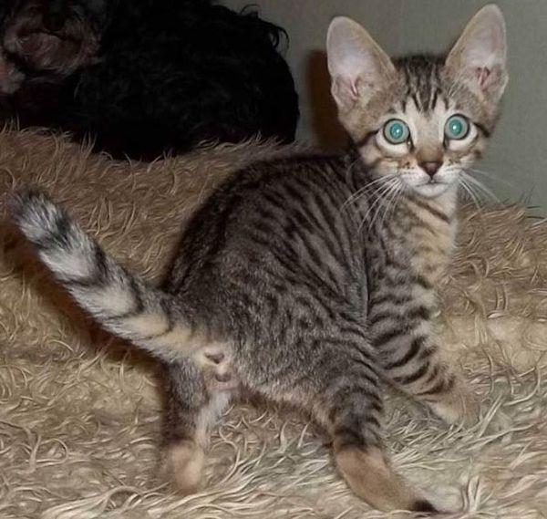 серенгети котёнок