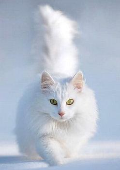 сибирская кошка главная