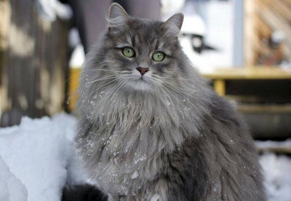 сибирский серый