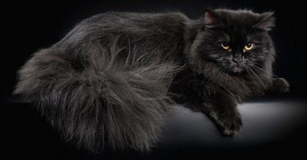 сибирский чёрный