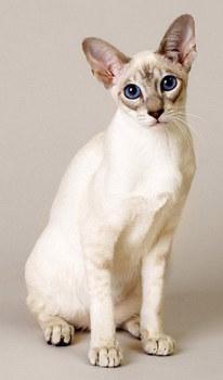 сингапурская кошка главная