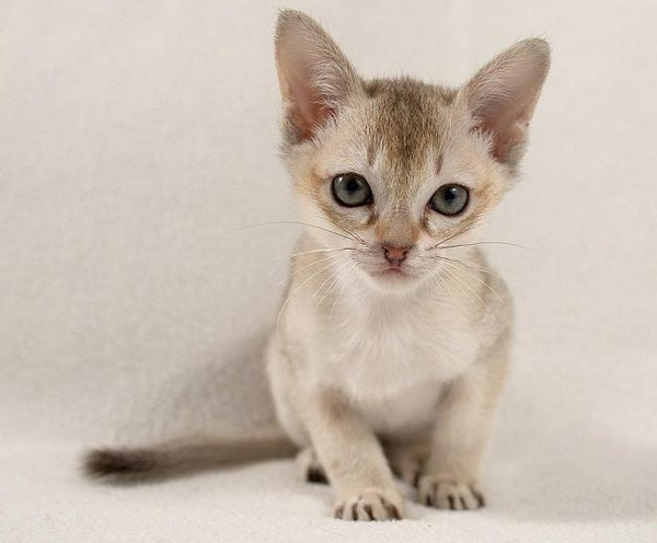 сингапурская кошка котёнок