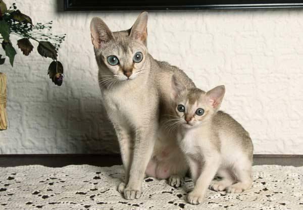 сингапурская кошка с котёнком