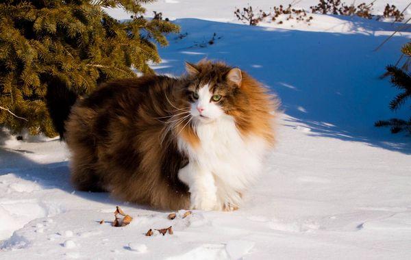 Скогкэт в снегу