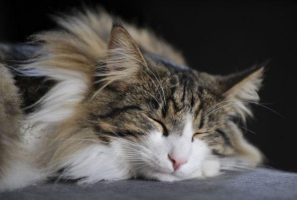 Скогкэт спящяя морда