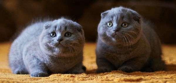 два скоттиш-фолд